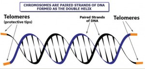 telomere strands